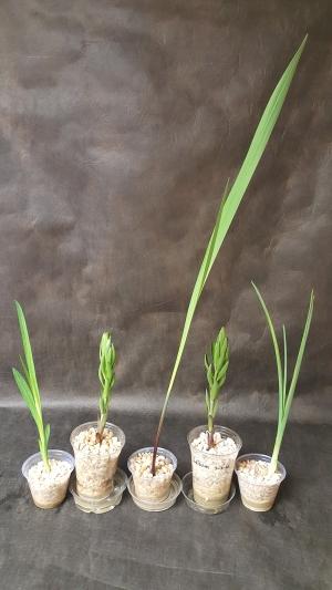 Bulb Plants