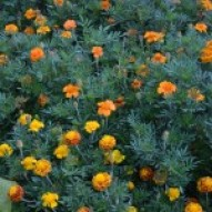 School Marigolds
